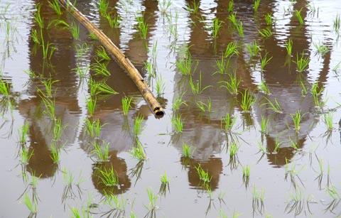 Plantação de arroz no Japão. Foto de wazdog, FlickR