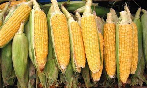 Metade dos agricultores do Alentejo que experimentaram o milho transgénico já desistiram