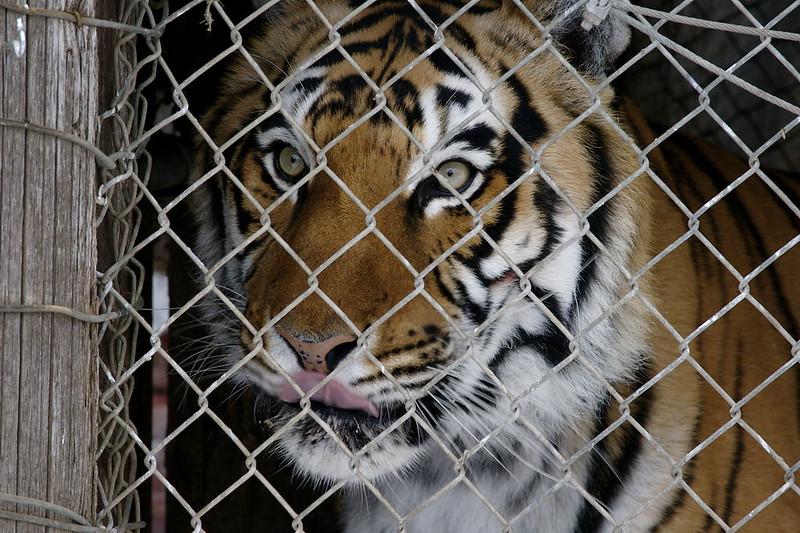 Tigre enjaulado. Foto de Braden Kowitz/Flickr.