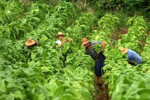 A OMS tem disponibilizado vasta informação sobre os efeitos degenerativos do manuseamento da folha de tabaco. No entanto, esta informação é propositadamente mantida inacessível à maior parte dos pequenos produtores e trabalhadores rurais da região