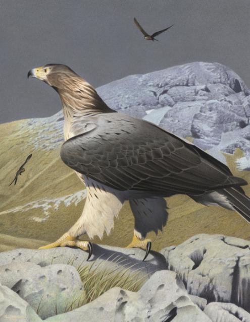 A águia da Nova Zelândia, a maior águia de que se tem notícia, foi extinta ao redor de 1400. Pode ter pesado de 10 a 15 quilos e as suas asas abertas poderiam ter chegado a três metros.