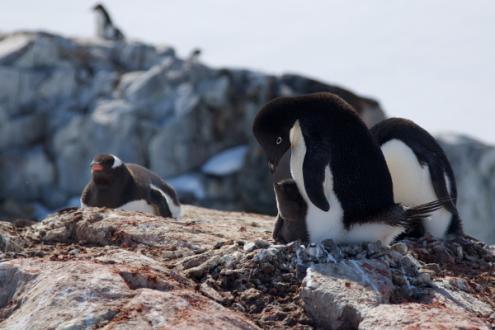 Evento catastrófico matou quase todos os filhotes de pinguins na Antártida