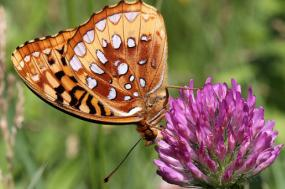 As borboletas são das espécies em declínio mais acentuado. Foto khteWisconsin/Flickr.