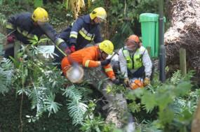 Madeira, Funcionários da Proteção Civil cortam a árvore que caiu durante o arraial na freguesia do Monte – Foto de Homem de Gouveia/Lusa