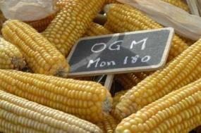 Apenas cinco países europeus cultivam o único OGM existente na agricultura europeia, o milho MON810 da Monsanto. Portugal é um deles.