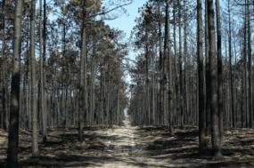 Pinhal de Leiria, 80% ardeu no dia 15 de outubro de 2017 – Foto de Miguel A. Lopes
