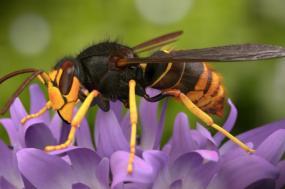 Vespa velutina ou vespa asiática. Segundo especialistas, cada ninho de vespas velutinas pode comer meio quilo de abelhas por dia e pode ter até três mil vespas