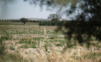 Olival em Alfundão