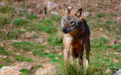 Lobo Ibérico. Foto de Animal Record/Flickr.