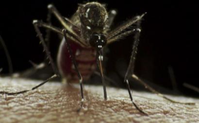 Aedes Aegypti. Foto de Sanofi Pasteur/Flickr.