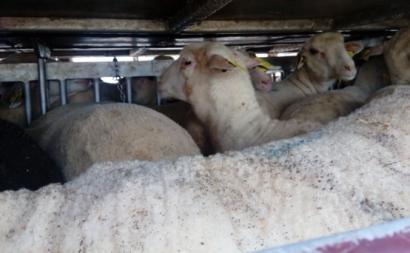 Bloco questiona condições na exportação de animais vivos