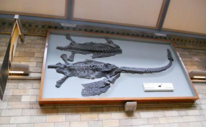 """""""Plesiossauro"""", Museu de História Natural, por Bibi/flickr, licenciado sob CC BY-NC-SA 2.0"""