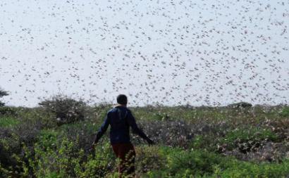 Parte da África Oriental é vítima de uma enorme praga de gafanhotos, que pode levar à destruição de grande parte da sua produção agrícola e a uma situação de emergência alimentar – Foto Quénia, 2019