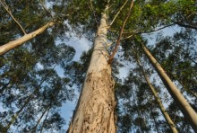 Celuloses atacam medidas de redução do eucalipto
