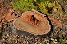 Sobreiro abatido ilegalmente - Foto Quercus