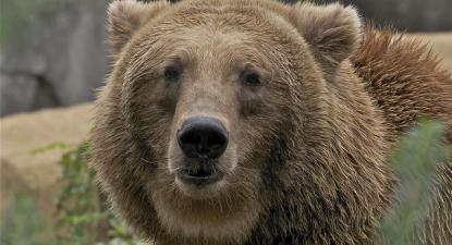 Urso pardo norte-americano, uma das espécies protegidas nos EUA.
