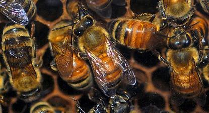 Abelhas em colmeia. Foto de Pamala Wilson/Flickr.
