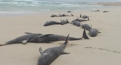 Golfinhos que deram à costa na praia do Altar, Boavista, Cabo-Verde, setembro de 2019.