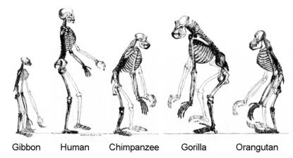 Espécies atuais descendentes de primatas, descendentes de um ancestral comum. Da esquerda para a direita: gibão, humano, chimpanzé, gorila e orangotango. Foto de Wikimedia Commons.