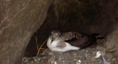 Uma cagarra no ninho, na Ilha Selvagem Pequena. Foto de Coimbra68/ Wikimedia Commons.