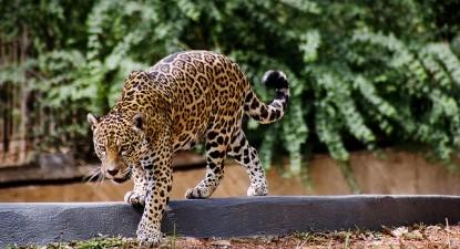 Há 24 mil espécies ameaçadas de extinção em todo o mundo. Foto de António Thomás Koenigkam/ Flickr