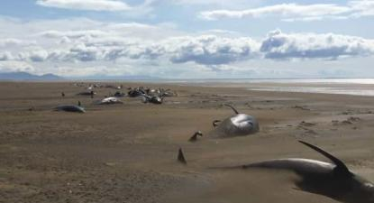 Baleias mortas na praia de Longufjorur na Islândia - Foto de David Schwarzhans, piloto do helicóptero turístico