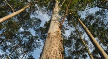 """""""O Governo decidiu apoiar financeiramente a retirada de plantações de eucaliptos"""", a medida foi proposta pelo Bloco de Esquerda e aprovada no parlamento"""