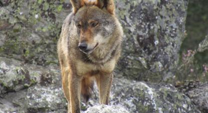 Lobo ibérico volta a ser avistado em Castelo Branco.
