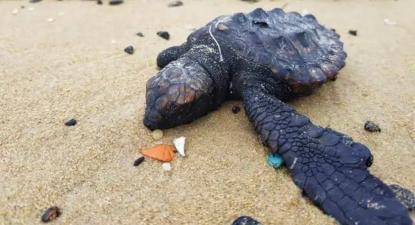 Tartaruga afetada pelo derramamento de crude. Foto da Associação do Município de Sharon/Twitter.