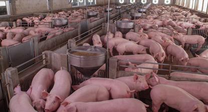 As zoonoses são particularmente potenciadas pela indústria de pecuária intensiva